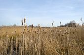 image of australie  - Bulrush in a field with reed in winter - JPG