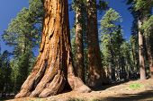 foto of sequoia-trees  - Giant Sequoia tree in the Mariposa Grove - JPG