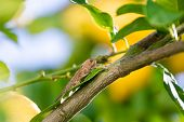 picture of locust  - Locust sits on a Branch of Lemon Tree closeup - JPG