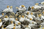 stock photo of gannet  - Northern Gannets are nesting on the Cape St. Mary