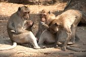 Monkey Family Sitting On Ground ( Macaca Fascicularis ).