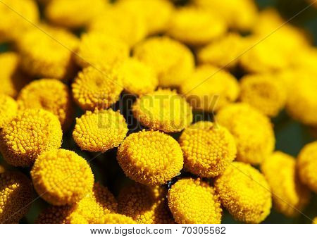Detailed macro photo of blooming Tansy (Tanacetum vulgare). Shallow DOF