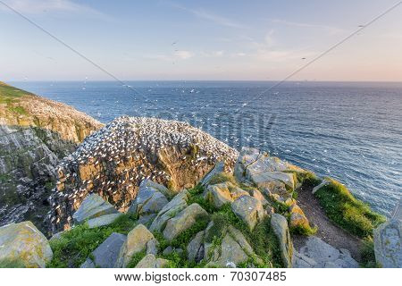 viewpoint for Northern gannet colony, Newfoundland