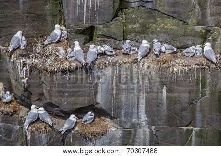 Kittiwakes nesting on cliff, Newfoundland