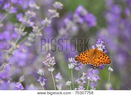 Butterfly on blooming lavender flowers