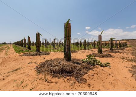 Dragon fruit trees in the garden at Phan Thiet, Binh Thuan, Vietnam. People plant them on the pillar