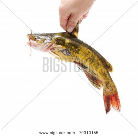 Holding Catfish isolated on white
