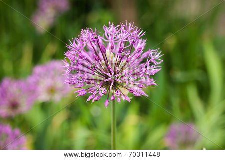 Allium flower (wild onion).