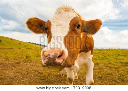 Young Brown Spotted Cow In The Mountains