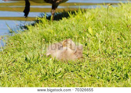 Newborn Canadian Gosling Sleeping In The Grass