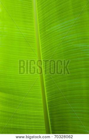 Vertical Photograph Of Green Banana Leaf
