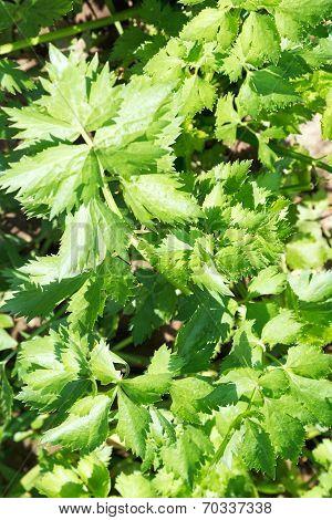Leaves Of Celeriac Herb In Garden