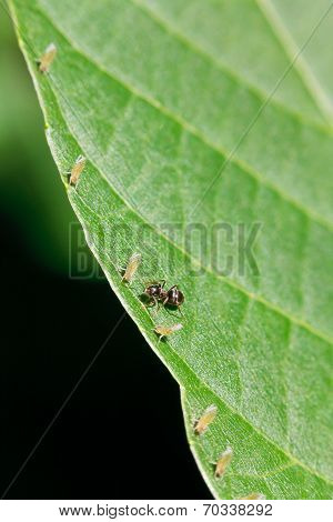 One Ant Tending Several Aphids On Leaf