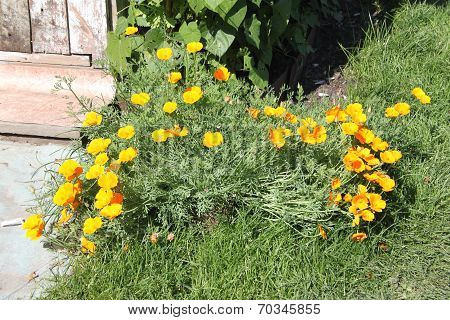 Beautiful yellow flowers with green stalks and grass in a dacha garden