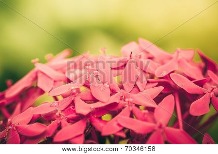 Ixora Coccinea Flowers Vintage