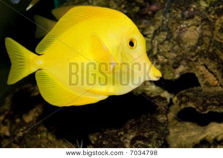 Yellow Hawaiian Tang In Aqaurium