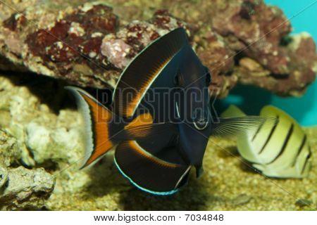 Achilles Tang no aquário