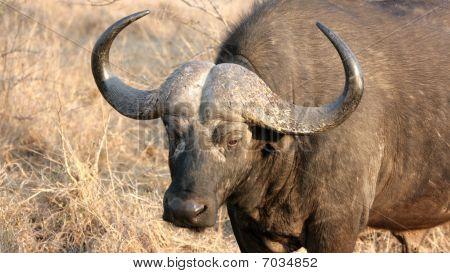 Male Buffalo Close-up