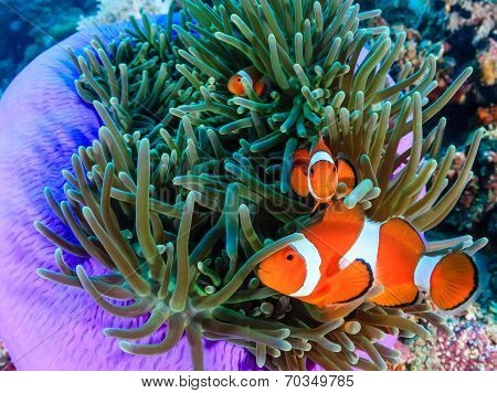Clownfish In A Purple Anemone
