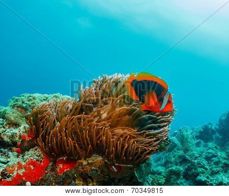 Clownfish on a reef