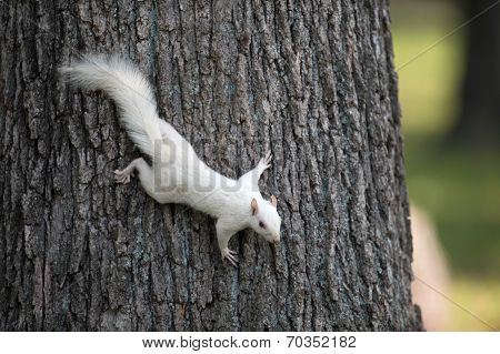 White Squirrel On A Tree