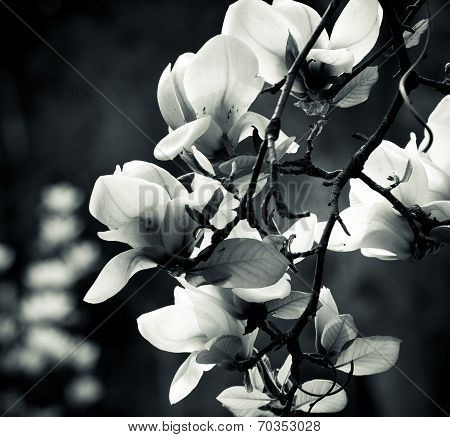 Black And White Magnolia