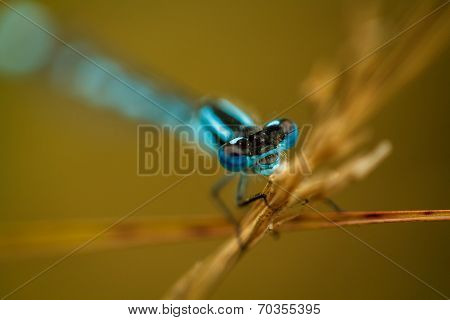Blue Damselfly In Beautiful Shallow Depth Of Field