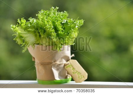 New lettuce in a pot with label