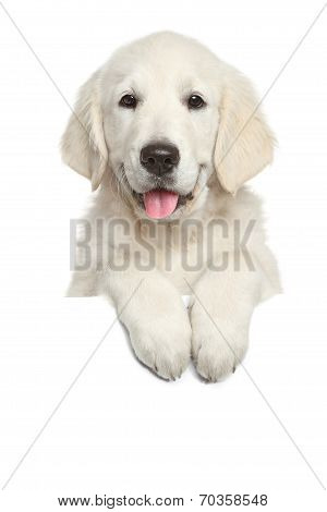 Golden Retriever Puppy Above White Banner