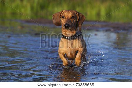 Dachshund runs through the shallows