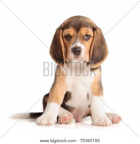 Cute Beagle Puppy