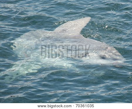 A Giant Mola Mola or Sunfish