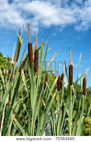 Low angle view of a clump of bull rushes growing alongside a lake against a cloudy sunny blue sky