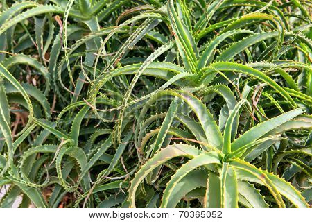 High-angle close-up of aloe vera green plants, with thick, fleshy and succulent leaves, used in alternative medicine