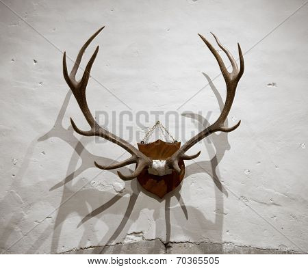 Pair of impressive shed deer antlers mounted on a wooden shield on a rough whitewashed rustic wall