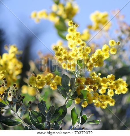 Australian Wattle in bloom  1