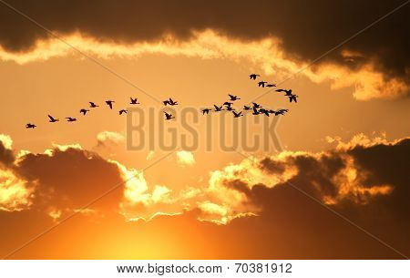 Canadian Geese Fly At Sunset