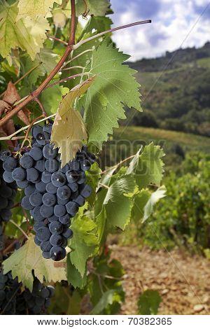 Ripe Sangiovese Grapes, Chianti, Tuscany