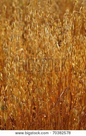 Field Of Ripe Oats Sunlit