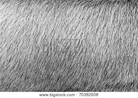 Texture From Fur Of Ashy Color