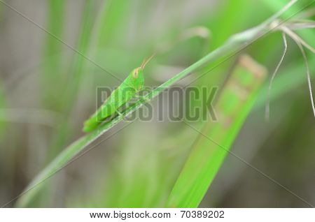 Green locust on the grass