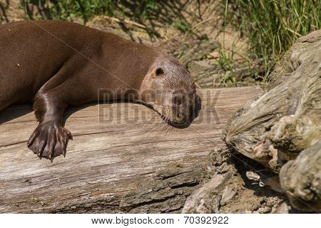 Giant otter resting on a large tree stump