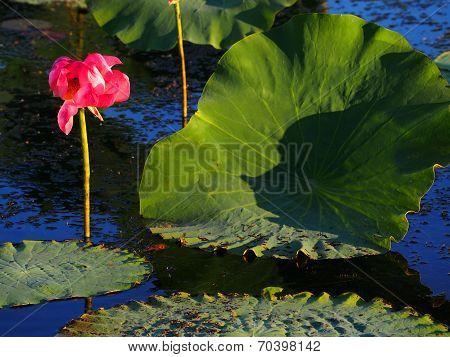 Lotus Lily, Nelumbo nucifera, Australia