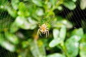 pic of cobweb  - spider on cobweb over boxwood leaves in summer day - JPG
