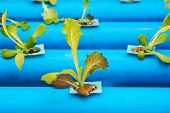 pic of hydroponics  - Hydroponic vegetables growing on blue pipe in organic farm - JPG