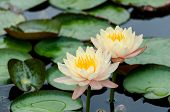 image of ponds  - Two yellow lotus in the lotus pond - JPG