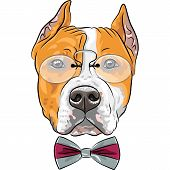 foto of american staffordshire terrier  - hipster dog American Staffordshire Terrier breed in a pince - JPG