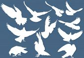 foto of pigeon  - illustration with pigeon silhouettes isolated on blue background - JPG
