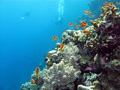 stock photo of fire coral  - coral reef with divers and exotic fishes anthias at the bottom of tropical sea on blue water background - JPG