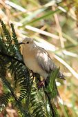foto of ring-dove  - The African collared dove  - JPG